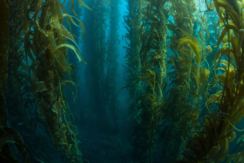 kelp santé