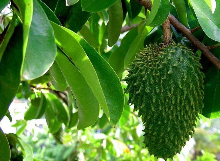 corossol fruit bienfaits