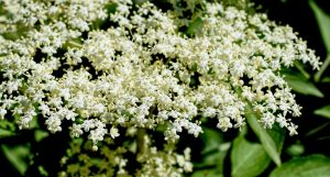 fleurs de sureau noir